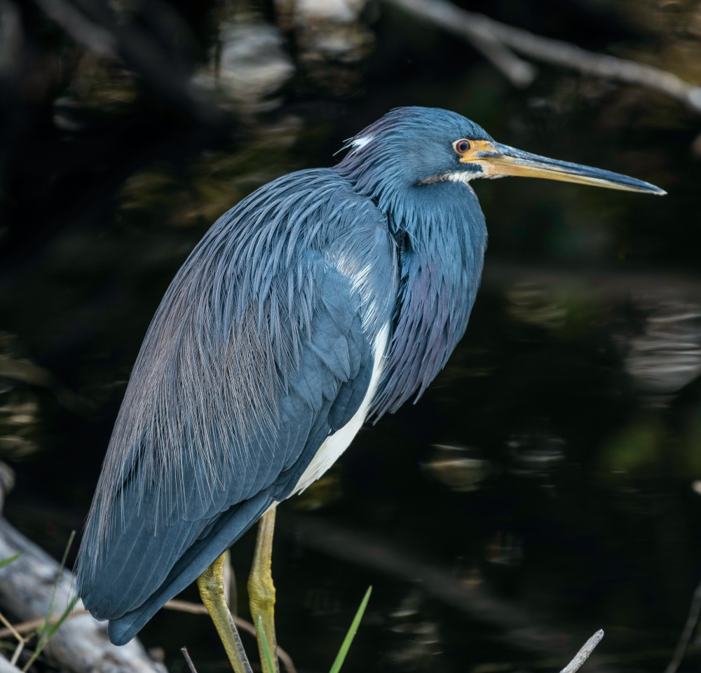 Caught a photo of a Blue Heron standing in the water. If you use this photo, please consider crediting https://www.goodfreephotos.com , not required but always appreciated.